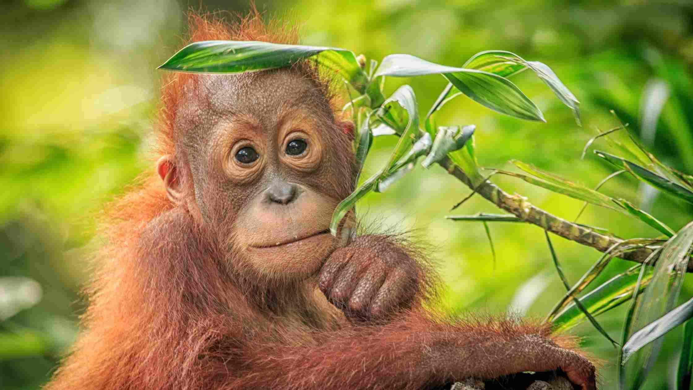 Pridobivanje palmovega olja - nevarnost za naravo, živali in tudi nas